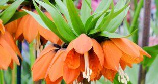 Почему не цветет рябчик императорский