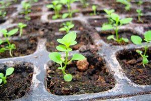 Подкормка рассады петунии для роста