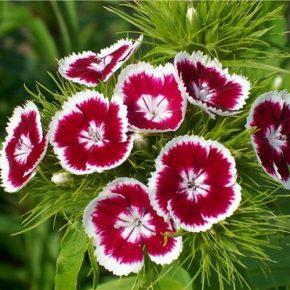 Турецкая гвоздика выращивание из семян, когда сажать