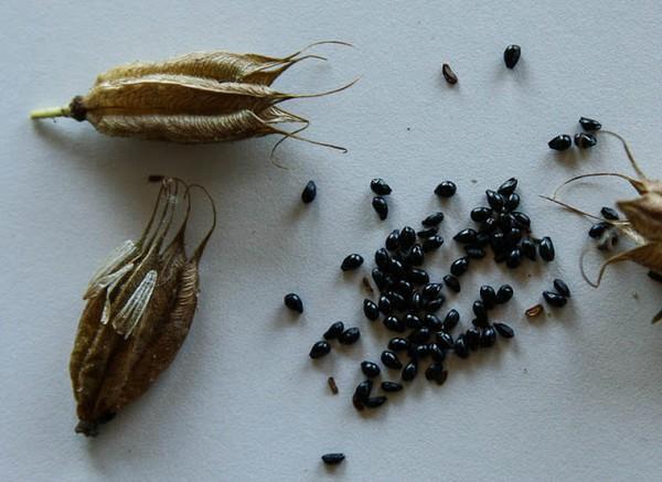 Аквилегия выращивание из семян