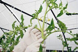 Как правильно пасынковать помидоры в теплице