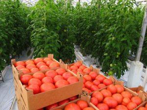 Как правильно пасынковать помидоры в открытом грунте