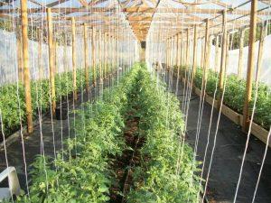 Как правильно подвязывать помидоры в теплице