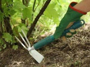 Как увеличить урожай смородины?