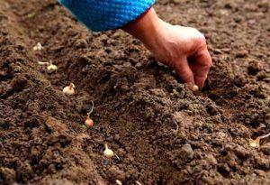 Китайский метод выращивания лука