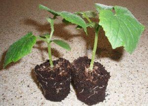Выращивание огурцов на балконе начиная с рассады поэтапно