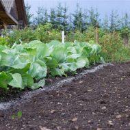 Чем подкормить капусту для роста народными средствами