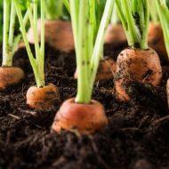 Чем подкормить морковь после всходов?