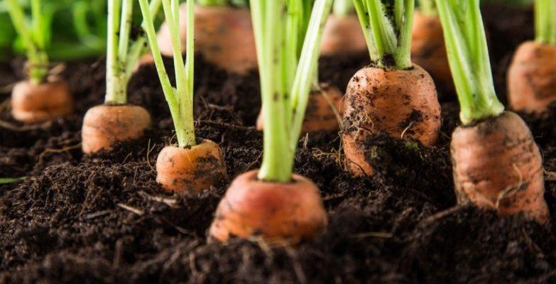 Чем подкормить морковь после всходов