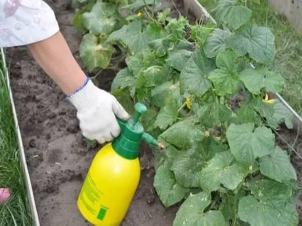 Чем полить огурцы, чтобы не желтели листья?