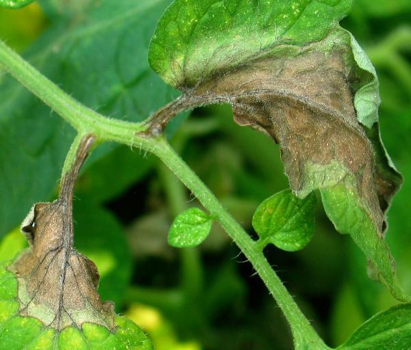 Болезни рассады помидоров фото и их лечение
