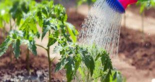 Как часто нужно поливать помидоры в теплице?