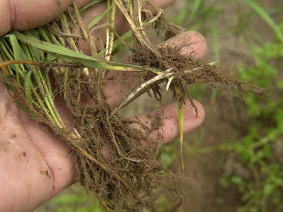 Как избавиться от пырея на огороде?