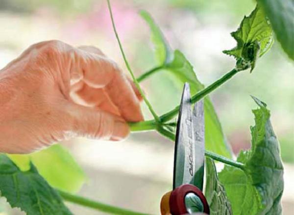 Как пасынковать огурцы в открытом грунте?