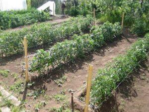 Как ухаживать за помидорами, чтобы был хороший урожай в открытом грунте?