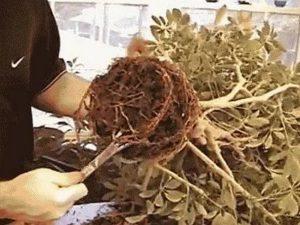 Шефлера цветок уход в домашних условиях обрезк