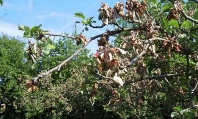 Засыхает яблоня: как спасти?