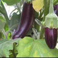 Баклажаны: листья желтеют и вянут. Причины и лечение