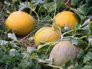 Чем подкормить арбузы и дыни, чтобы росли быстрее
