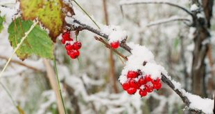 Как подготовить смородину к зиме?