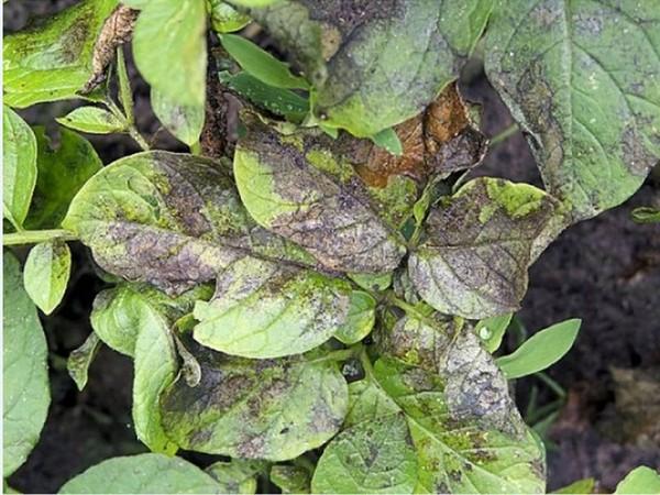 Почему не растет картофельная ботва?