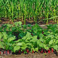 Что посадить после сбора чеснока?
