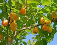 Как обрезать абрикос осенью?