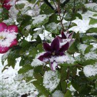 Как подготовить клематисы к зиме?