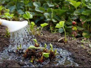 Как правильно ухаживать за клубникой чтобы был хороший урожай