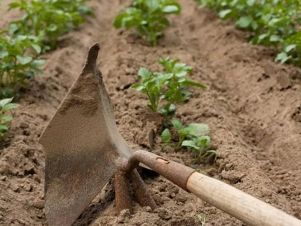 Как ухаживать за картофелем