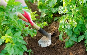 Как увеличить завязь на помидорах?