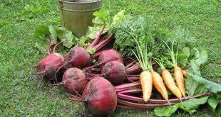 Когда собирать урожай свеклы и моркови