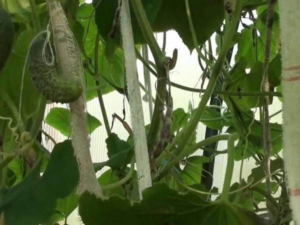 Огурцы желтеют и вянут листья что делать