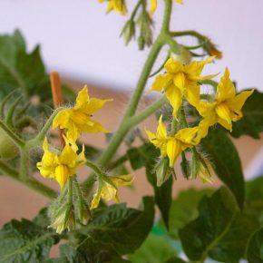Осыпаются цветы на помидорах: что делать?