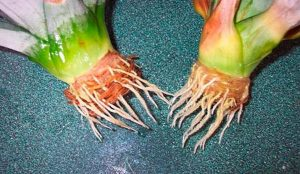 Как вырастить ананас в домашних условиях из верхушки видео