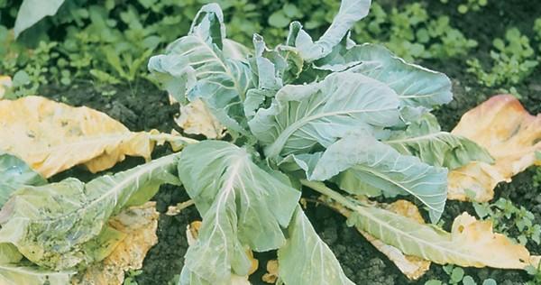 Почему крутятся листья на капусте