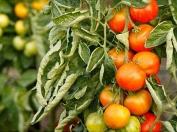 Почему крутятся листья на помидорах и что делать?