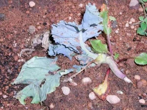 Почему не растет капуста стоит на одном месте
