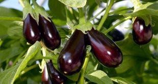 Почему не растут баклажаны после высадки в грунт