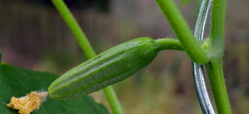 Почему не растут огурцы в открытом грунте?