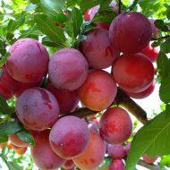 Почему опадают плоды сливы: наиболее частые причины