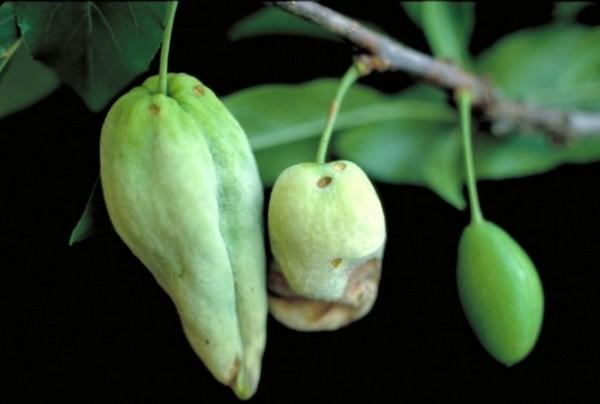 Почему опадают плоды сливы наиболее частые причины
