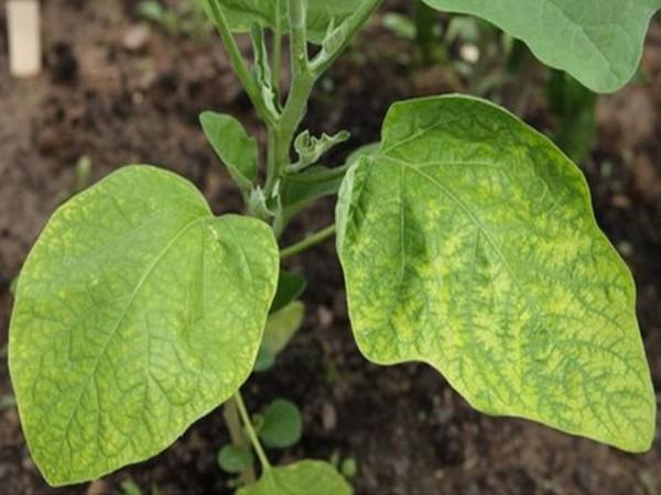 Почему плохо растут баклажаны в открытом грунте