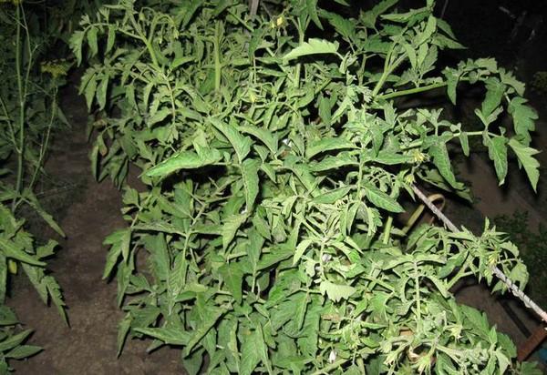 Почему помидоры вянут и скручиваются листья