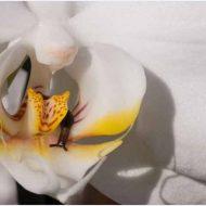 Почему у орхидеи вянут листья?