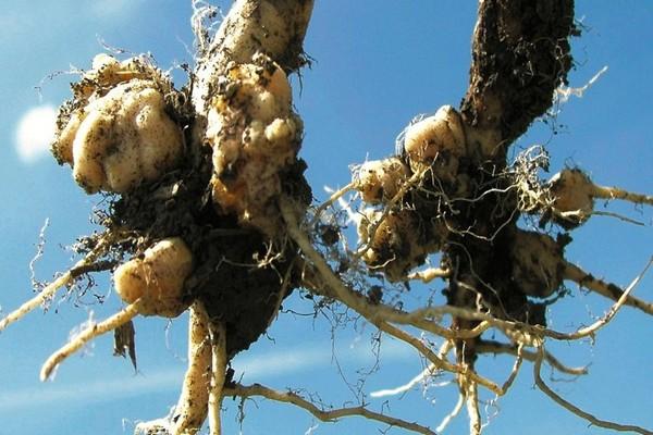 Почему вянут листья у капусты