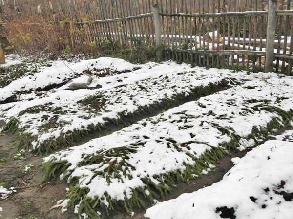 Как и чем укрывать клубнику на зиму