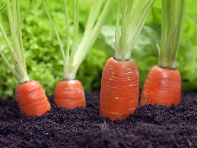 Морковь выращивание и подкормка 840