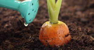 Чем подкармливать морковь для хорошего урожая