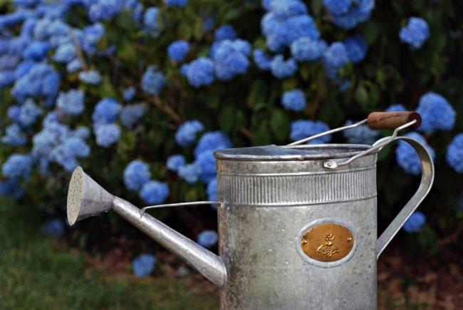 Чем подкормить гортензию летом